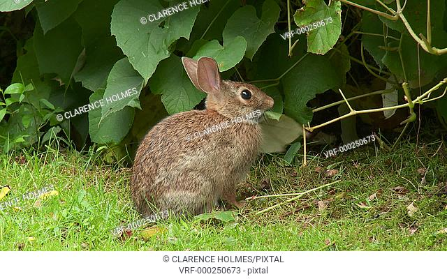 An Eastern Cottontail (Sylvilagus floridanus) eats vegetation in a suburban yard