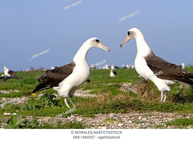 Laysan Albatross (Phoebastria immutabilis), Sand Island, Midway Atoll National Wildlife Refuge, Hawaii, USA