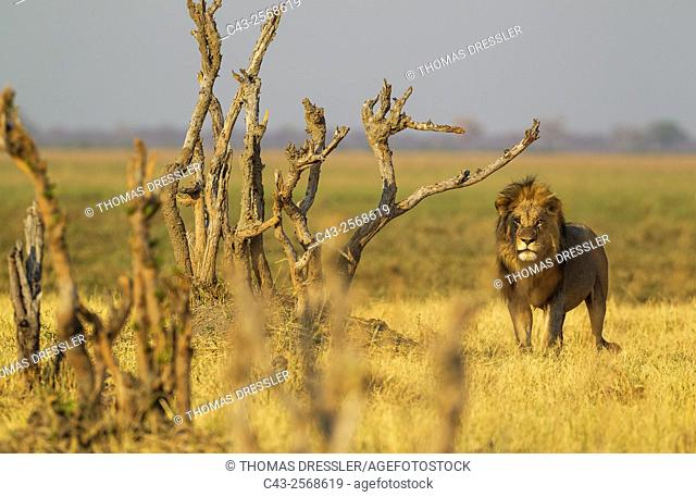 Lion (Panthera leo) - Male. Savuti, Chobe National Park, Botswana