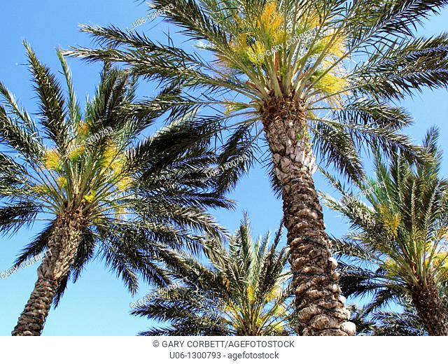 Sabal palmetto or Sabal or Cabbage palm trees