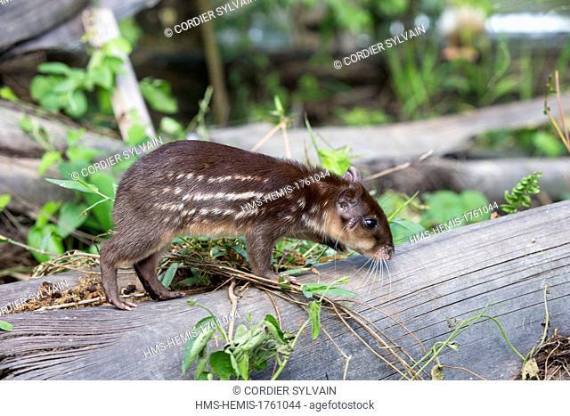 Brazil, Amazonas State, Manaus, Amazon river basin, Lowland paca or Spoptted paca (Cuniculus paca), baby