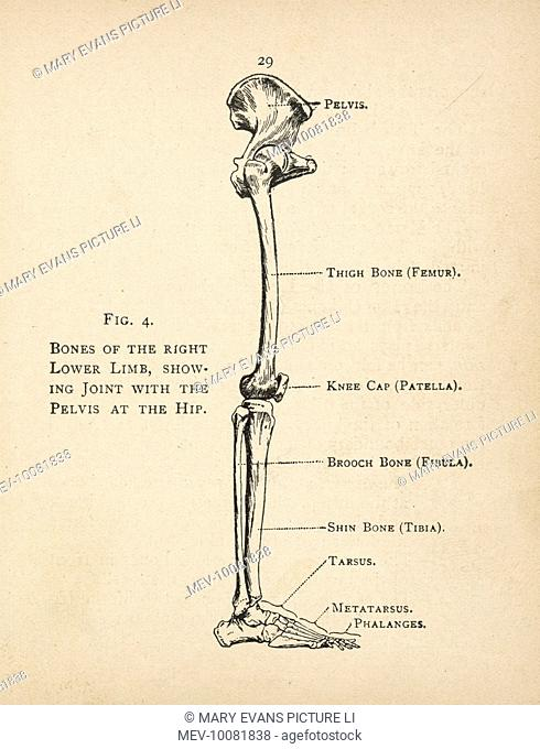 diagram of the bones of the right leg, showing the joint with the pelvis at  the hip, stock photo, picture and rights managed image  pic