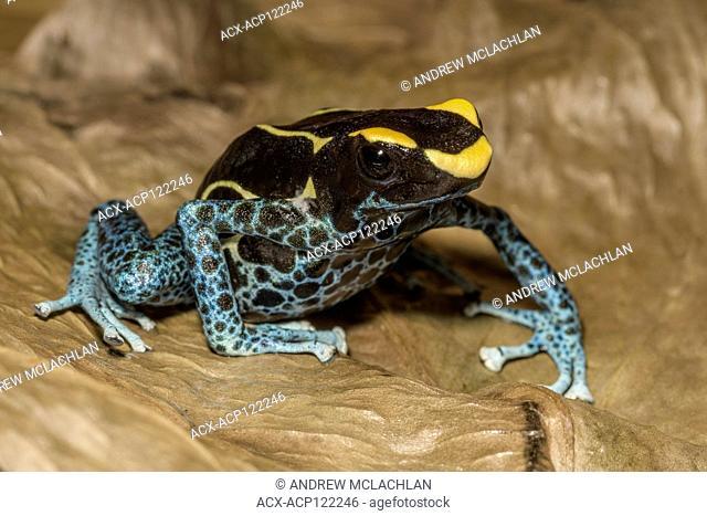 Dendrobates tinctorius 'Powder Blue' - captive bred