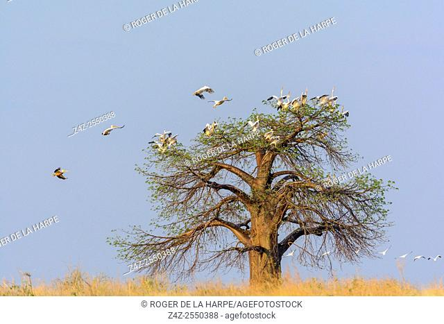 Great white pelican, also known as the eastern white pelican, rosy pelican or white pelican (Pelecanus onocrotalus) roosting in a Baobab tree (also called...