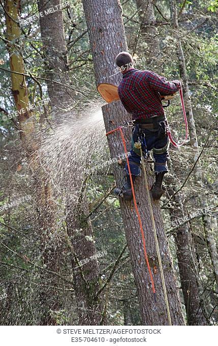Tree cutting, cut notch, fir tree cutting, safety lines, chainsaw use