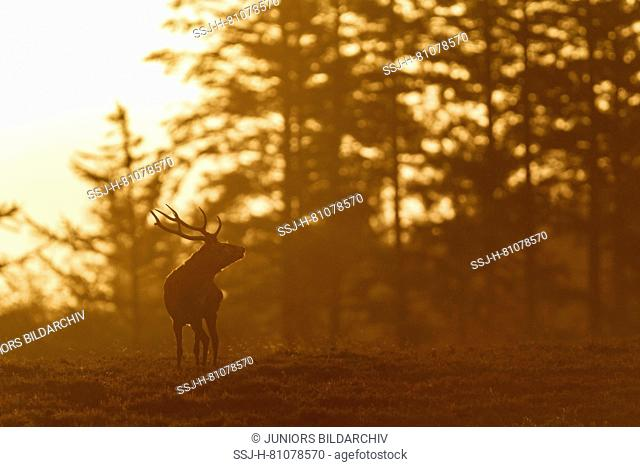 Red Deer (Cervus elaphus). Stag bellowing in early morning light. Denmark