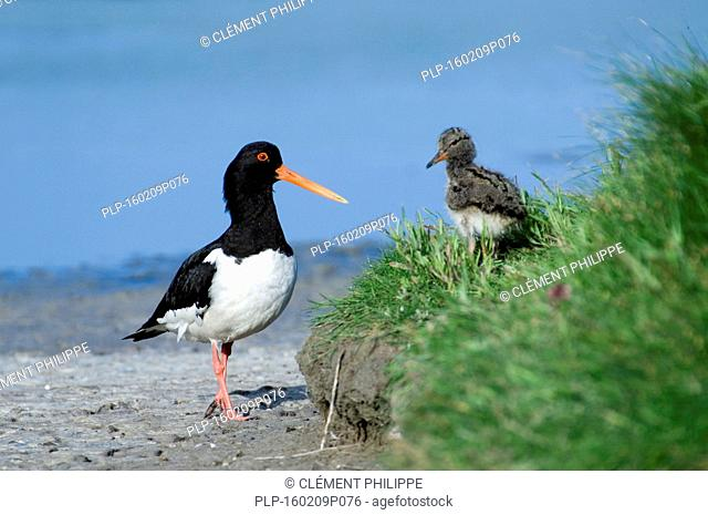 Eurasian Oystercatcher / Common Pied Oystercatcher (Haematopus ostralegus) with chick on shore