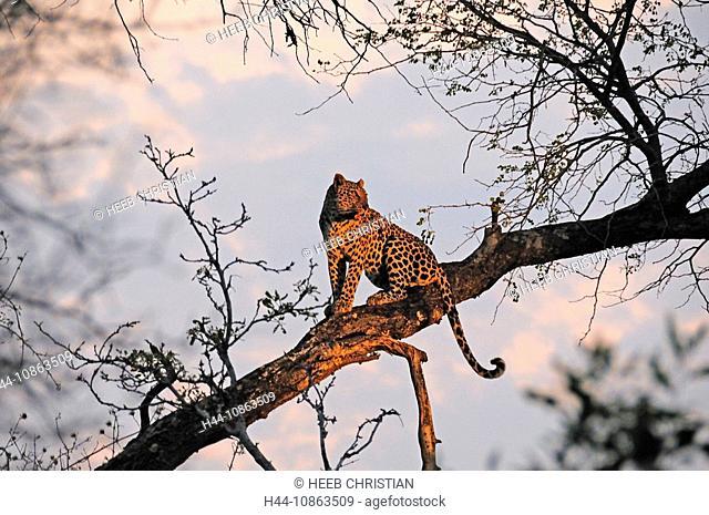 Leopard, Panthera pardus, Ulusaba Sir Richard Branson's Private Game Reserve, Sabi Sands Game Reserve, Mpumalanga, South Africa, tree, twilight