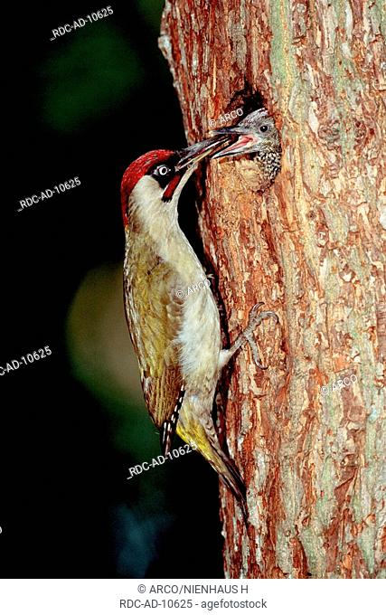 Green Woodpecker feeding chick at tree hole, Germany, Picus viridis