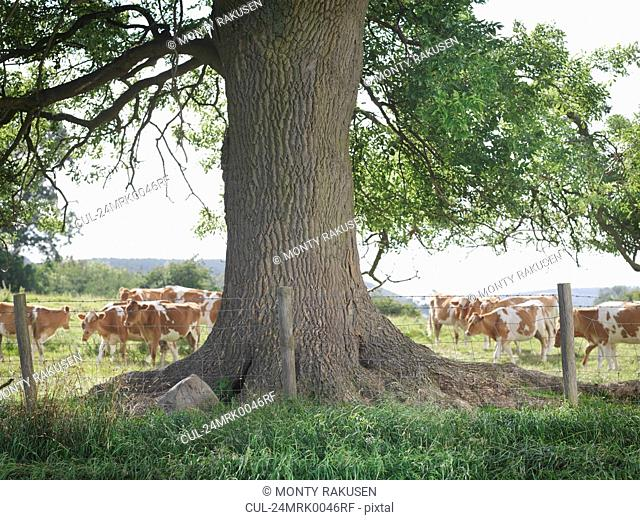 Tree and Guernsey calves