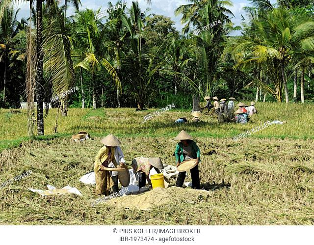 Workers in a rice field, Ubud, Bali, Indonesia, Southeast Asia