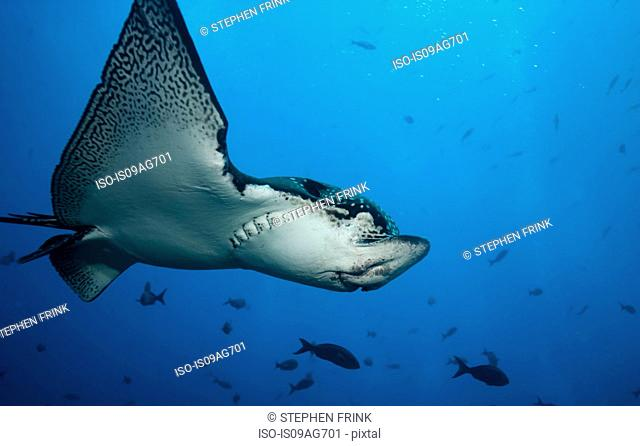 Spotted eagle ray in flight