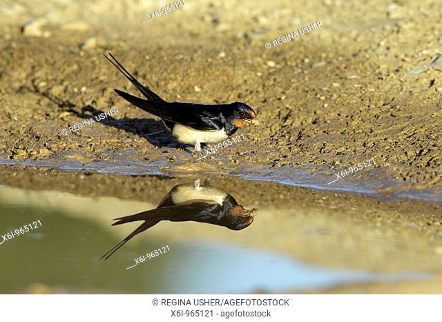Barn Swallow Hirundo rustica, collecting nest material from pool, Portugal