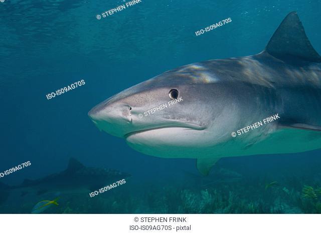Tiger shark close-up