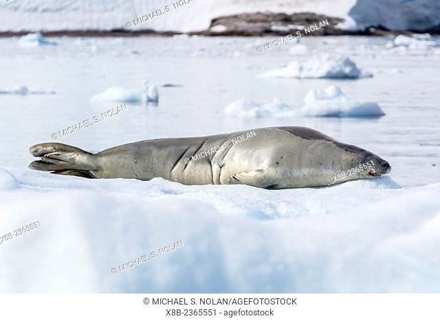 Adult crabeater seal, Lobodon carcinophaga, hauled out on ice floe, Neko Harbor, Andvord Bay, Antarctica, Southern Ocean