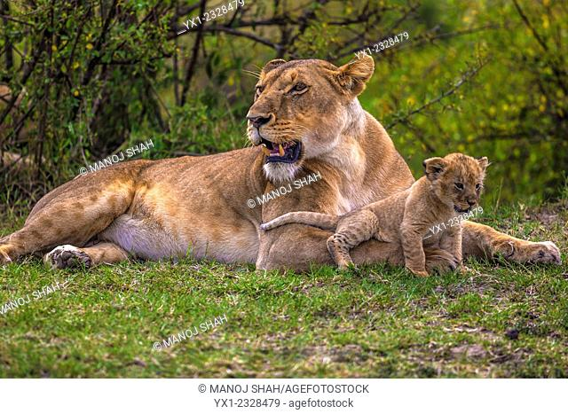 Lion cub sits comfortably on mother's front leg