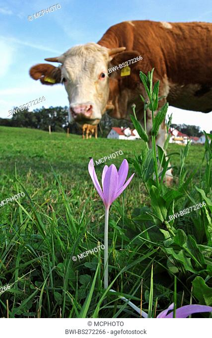 Meadow saffron, Naked lady, Autumn crocus Colchicum autumnale, cow watching a poisonous Meadow saffron, Germany, Baden-Wuerttemberg