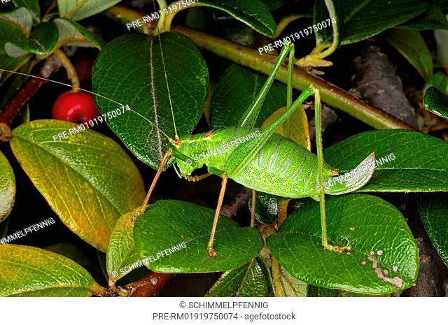 Speckled bush-cricket, Leptophyes punctatissima, female / Punktierte Zartschrecke, Leptophyes punctatissima, Weibchen