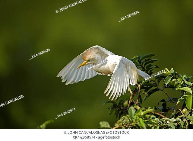 Cattle egret (Bubulcus ibis), Costa Rica