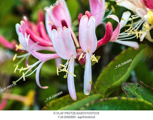Closeup of wild Honeysuckle flower (Lonicera periclymenum Caprifoliaceae), Cornwall, England, United Kingdom