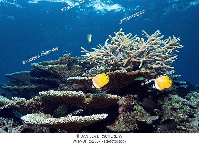 Table Corals andBranching Corals on Reef Top, Acropora sp., Thaa Atoll, Maldives