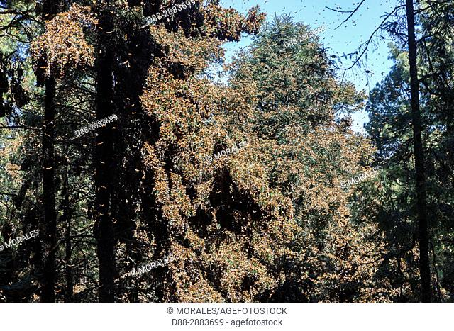 Central America, Mexico, State of Michoacan, Angangueo, Reserve of the Biosfera Monarca Sierra Chincua, forest where monarch butterflies (Danaus plexippus)