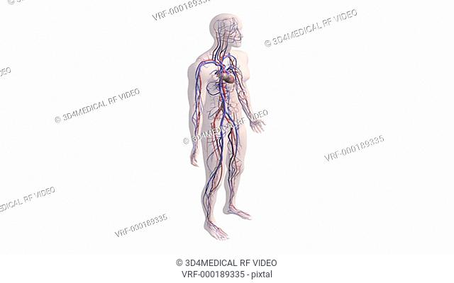A zoom in on a fully rotating transparent male figure with the beating heart and vessels of the cardiovascular system