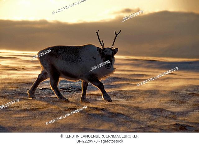 Silhouette of a young male Svalbard Reindeer (Rangifer tarandus platyrhynchus) foraging for food in the windblown, icy landscape