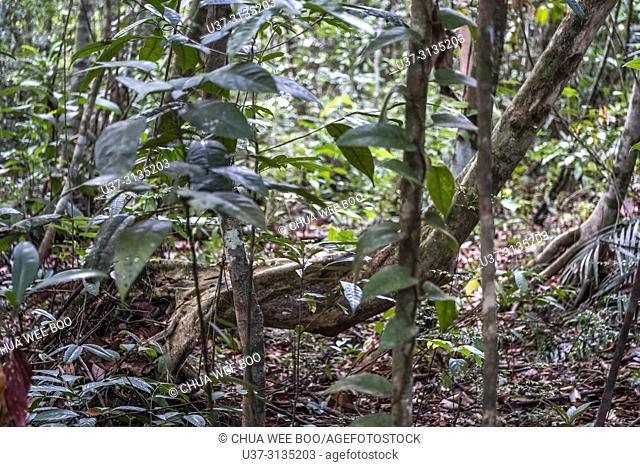 Tree trunk. Image taken at Stutong Forest Reserve Park, Kuching, Sarawak, Malaysia