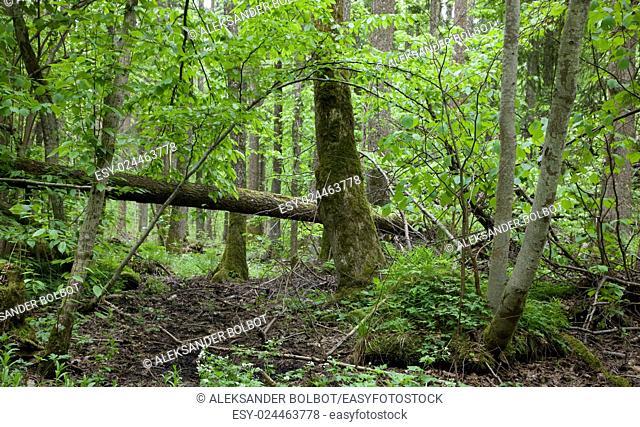Rich springtime alder-bog stand of Bialowieza Forest,Poland,Europe