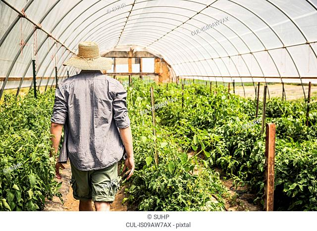 Rear view of man wearing sun hat walking through polytunnel