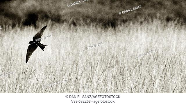 Swallow. Puebla de Sanabria, Zamora province, Castilla-Leon, Spain