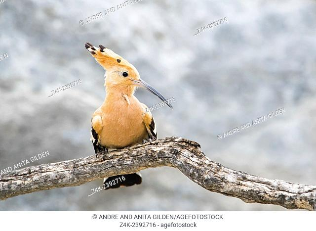 Hoopoe (Upupa epos) perched on a branch of a dead tree