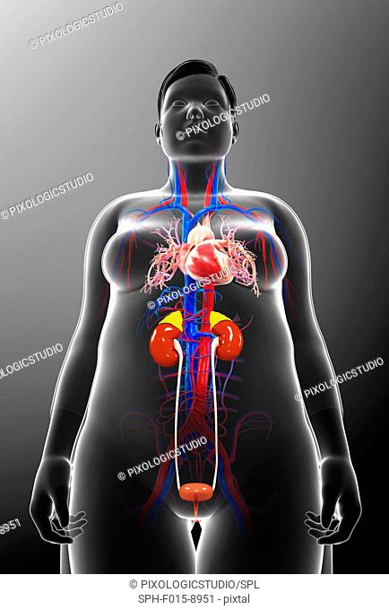 Illustration of female urinary and circulatory systems