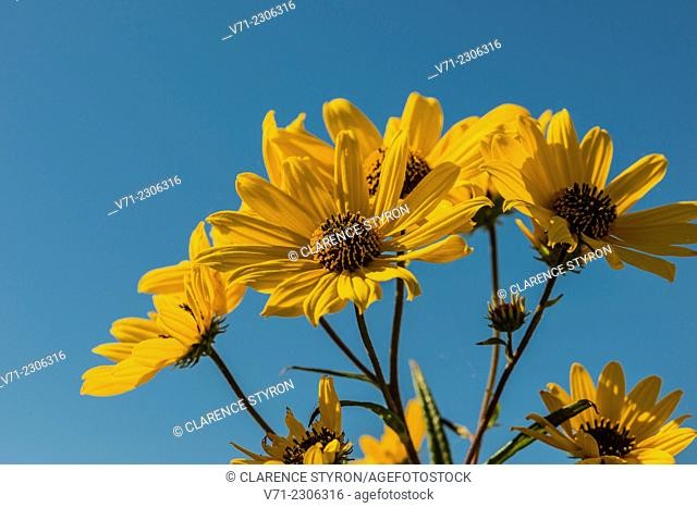False Sunflower (Heliopsis helianthoides) Flowers