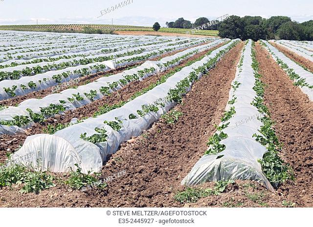 Plastic spread over new plants protect them from rabbits and other small mammals that like to dine on the young buds