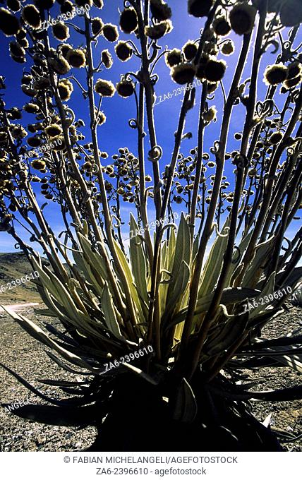 Frailejon, Spelettia sp., backlit by the rising sun in the Sierra Nevada National Park in the Andes mountains of Venezuela