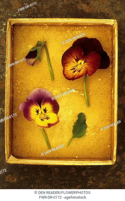 Pansy, Viola x wittrockiana cultivar. Two yellow and mauve flowers of Pansy or Viola tricolor lying with purple flower bud and leaf in card tray