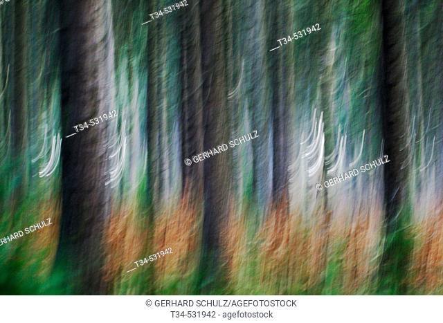 Norway Spruce Forest. Gemeine Fichte (Fichtenwald). Picea abies. Schleswig-Holstein, Germany