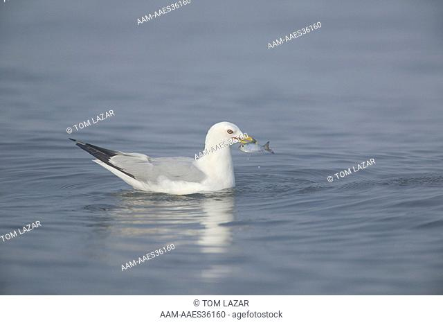 Ring-billed Gull (Larus delawarensis) Lake Michigan Shoreline; Wisconsin; Summer; Adult (in breeding plumage) fishing; swimming w/ fish in beak in calm blue...