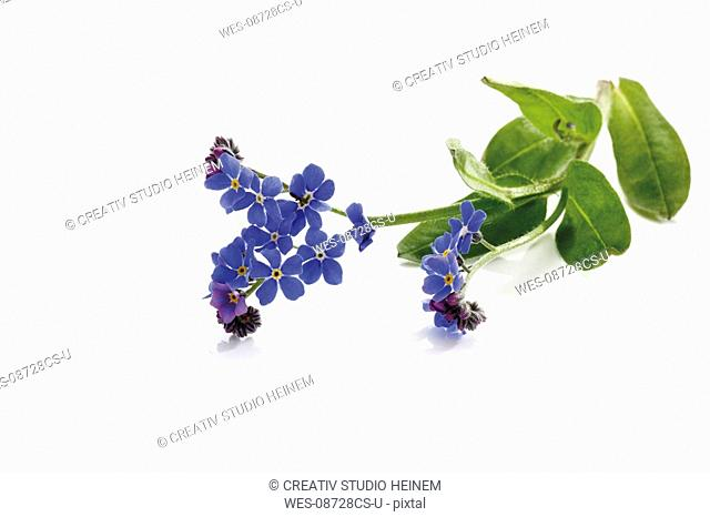 Forget-me-not Myosotis sylvatica, elevated view