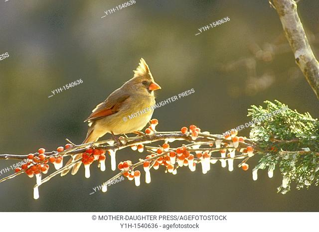 Female cardinal, Cardinalis cardinals, glowing with afternoon light perching on a branch of holly berries covered in ice, Missouri, USA