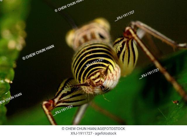 Grasshopper of borneo