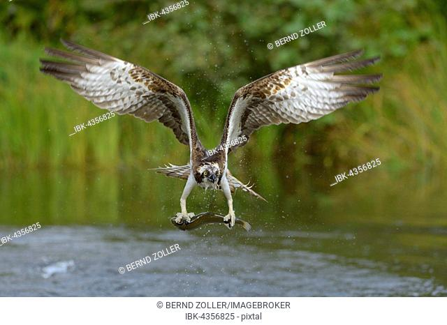 Osprey (Pandion haliaetus) in flight with prey, rainbow trout (Oncorhynchus mykiss), Tampere, Western Finland, Finland