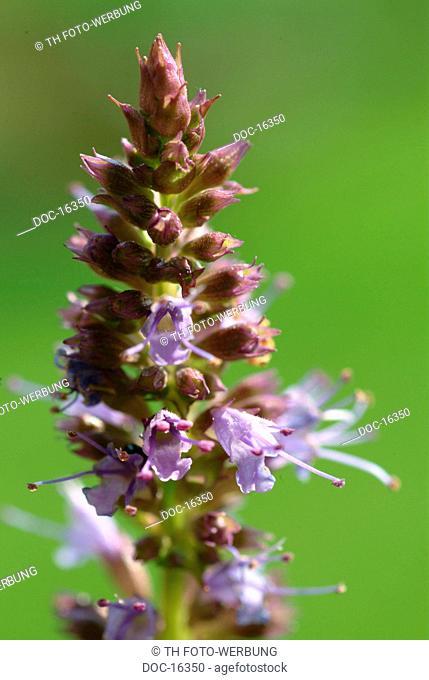 Purple giant hyssop - korean mint - spice - herb - medicinal plant - Agastache rugosa -