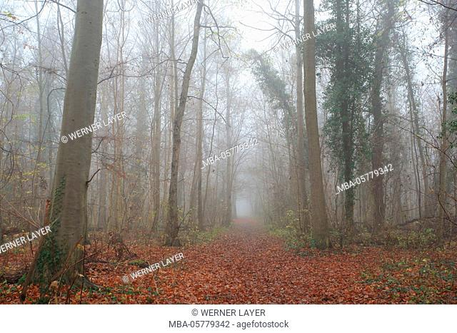 Auwald with fog in autumn