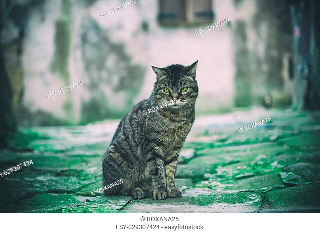 Portrait of a tabby gray street cat with green eye sitting and looking in old european city, animal natural background