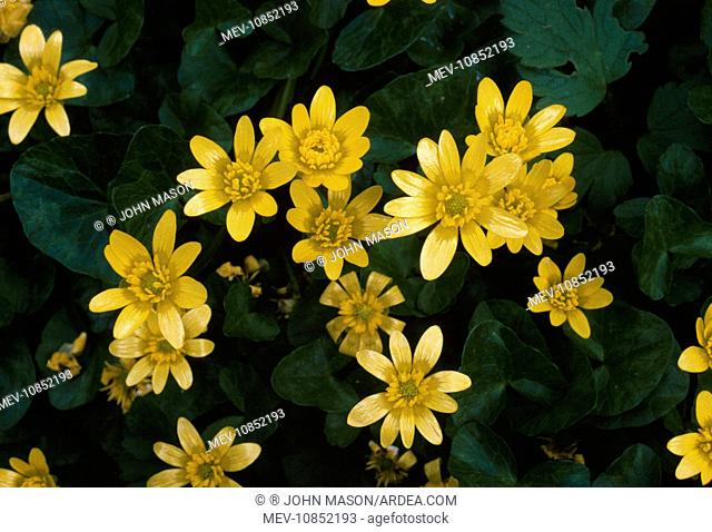 Lesser CELANDINE - in flower (Ranunculus ficaria). Perennial found in damp woodland and hedgerows. Flowers March - May