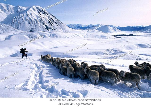 'Snow raking', saving trapped sheep in snow at Craigieburn Station, Canterbury, New Zealand