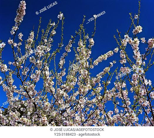 Almond tree - flowers. Natural Park of Sierra Magina. Jaen - province. Region of Andalusia. Spain. Europe